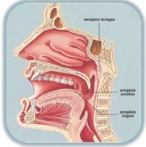 amigdalas-y-adenoides-5-638