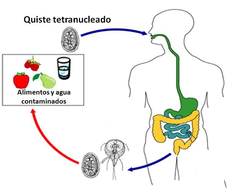 Giardiasis-ciclo de vida