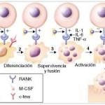Regulación del desarrollo de los osteoclastos por el ligando del receptor activador del factor nuclear κB (RANKL), el receptor activador del factor nuclear κB (RANK) y la osteoprotegerina (OPG)